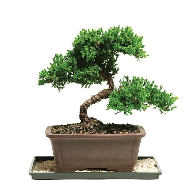 brussel-s-bonsai-bonsai-trees-dt-7079gmj-64_1000